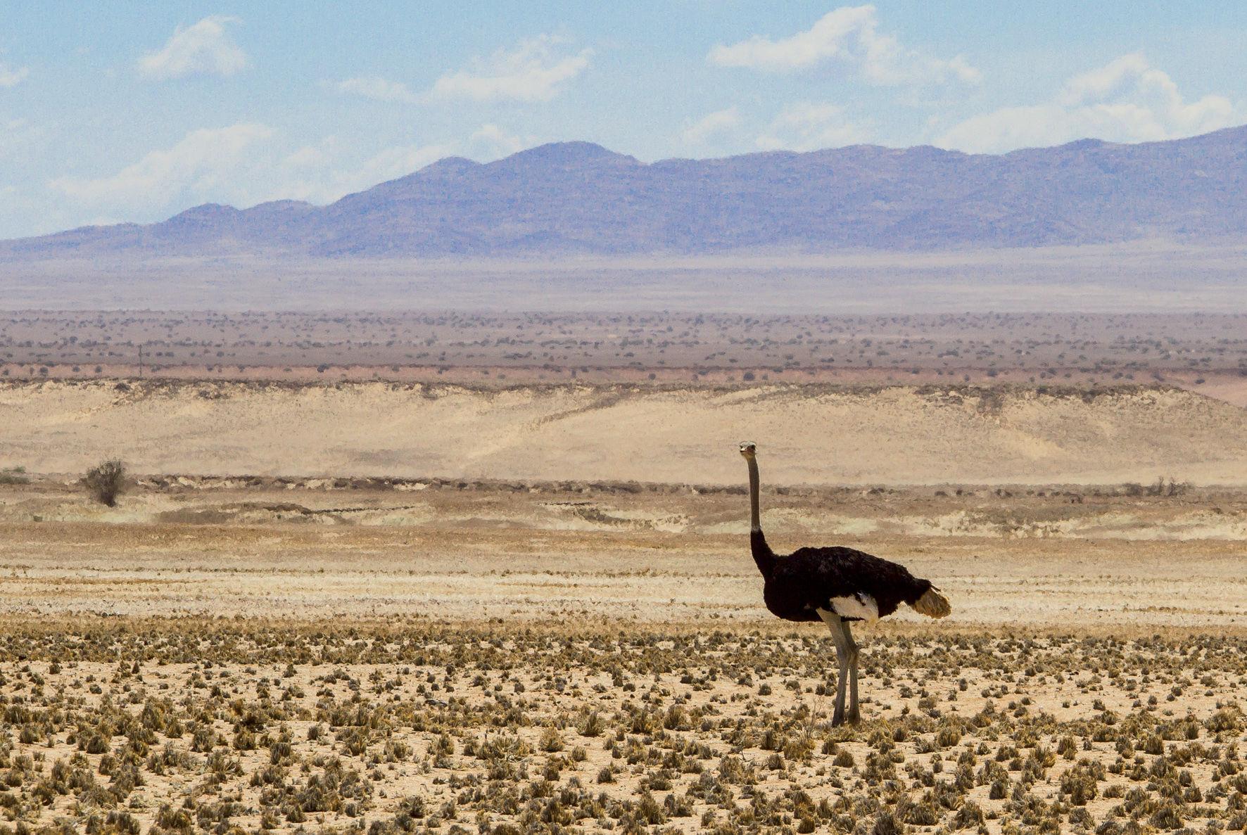 Le désert du Namib est riche d'une faune incroyable. Nous avons souvent vu des autruches le long de la route…