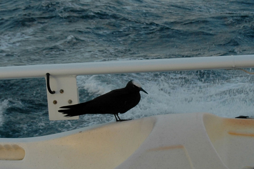 Pause salvatrice à bord pour un noddi noir perdu au large…