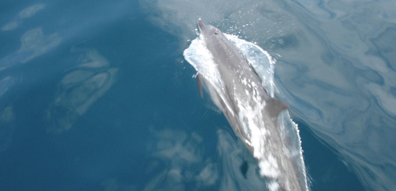 Les dauphins viennent jouer dans les étraves du Catathaï 34. Toujours un grand moment !